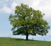 Rasadnik Vikumak sadnica Hrast luznjak