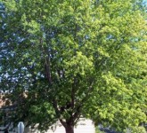 Rasadnik Vikumak sadnica Srebrni javor