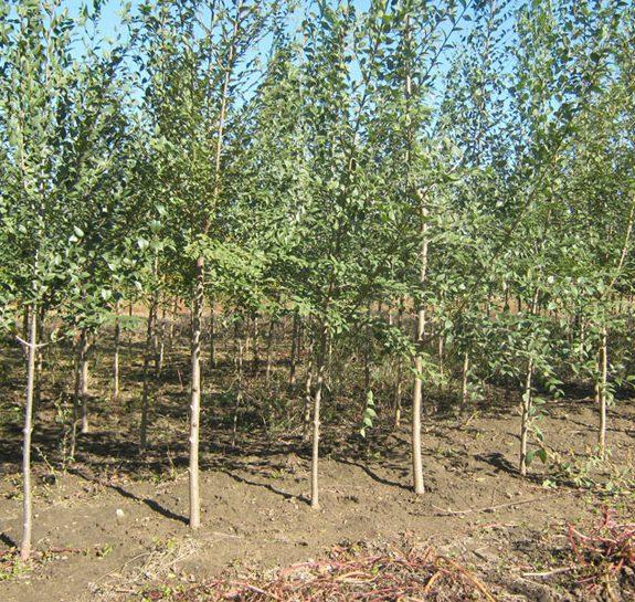 Vikumak šumski rasadnik | o nama, zasad drveca