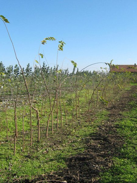 Vikumak šumski rasadnik | o nama, zasad stabljika