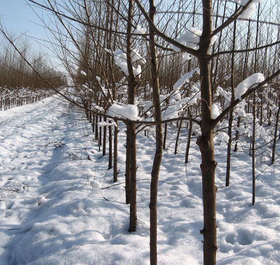 Vikumak šumski rasadnik | o nama, snezni zasad