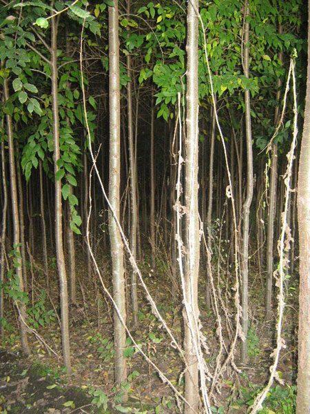 Vikumak šumski rasadnik | o nama, stabljike u noci